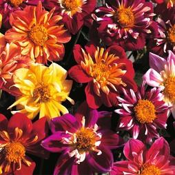 Dahlia variabilis 'Collarette Dandy'