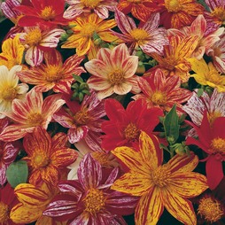 Dahlia variabilis 'Fireworks Mixed'