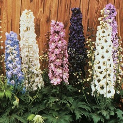 Delphinium hybridum 'Magic Fountains Mixed'