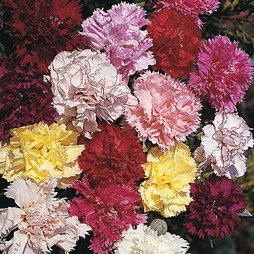 Dianthus caryophyllus 'Giant Chabaud Mixed'