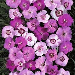 Dianthus plumarius 'Ipswich Pinks Mixed'