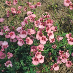 Diascia barberae 'Rose Queen'