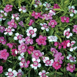 Dianthus deltoides 'Micro Chips'