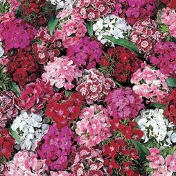 Dianthus barbatus 'Summer Sundae'