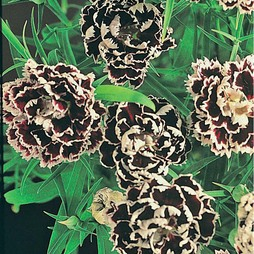 Dianthus chinensis heddewigii 'Black And White Minstrels'
