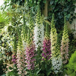 Foxglove 'Mountains Mixed'