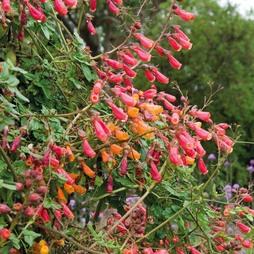 Eccremocarpus scaber 'Anglia Hybrids Mixed'