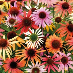 Echinacea x hybrida 'Magic Box'