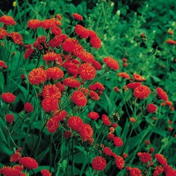 Emilia coccinea 'Scarlet Magic'