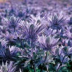 Eryngium alpinum 'Blue Lace'