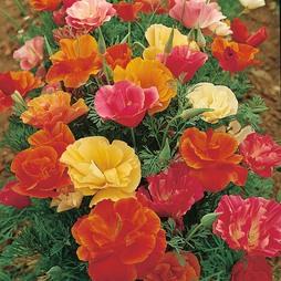 Californian Poppy 'Monarch Mixed'