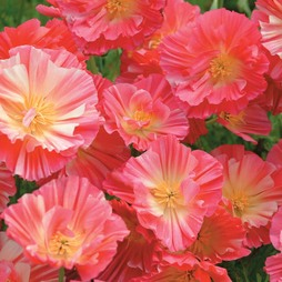Californian Poppy 'Summer Sorbet'