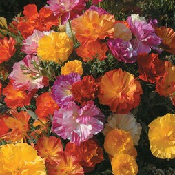 Californian Poppy 'Jelly Beans'