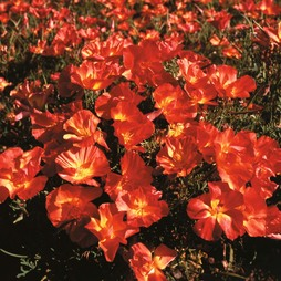 Californian Poppy 'Strawberry Fields'
