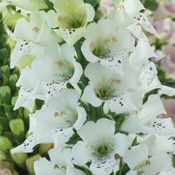 Foxglove 'Snowy Mountain'