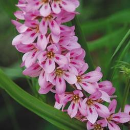 Francoa sonchifolia 'Pink Giant'