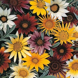 Gazania hybrida 'Talent Mixed'