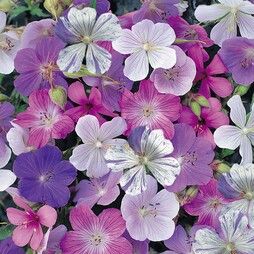 Geranium 'Reflections'