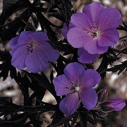 Geranium pratense 'Purple Haze'