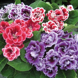 Gloxinia speciosa 'Brocade Double Mixed' F1 Hybrid
