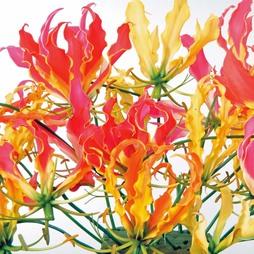 Glory Lily (Mixed)