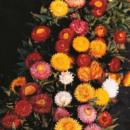 Helichrysum monstrosum 'Bright Bikini Mixed'
