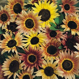 Sunflower 'Pastiche'