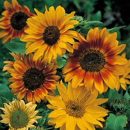 Sunflower 'Autumn Time'