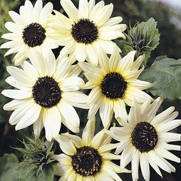 Sunflower 'Italian White'