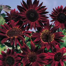 Sunflower 'Claret' F1 Hybrid