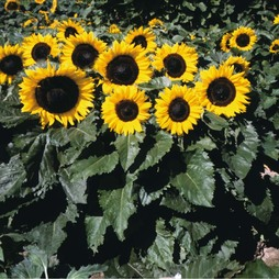 Sunflower 'Little Dorrit' F1 Hybrid