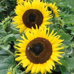 Sunflower 'Choco Sun'