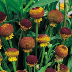 Helenium puberulum 'Autumn Lollipop'