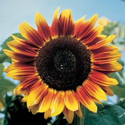 Sunflower 'Solar Eclipse' F1 Hybrid