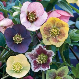 Hellebore 'Winter Flowering Hybrid Mix Improved'