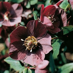 Hellebore (Purple-flowered Christmas Rose)