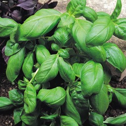 Basil 'Sweet Green'
