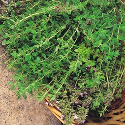 Thyme 'Old English'