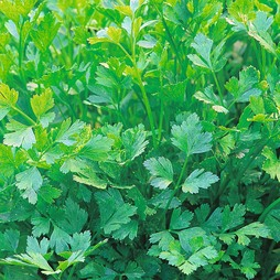 Parsley 'Plain Leaved (Sheeps) 2' (Flat Leaved)