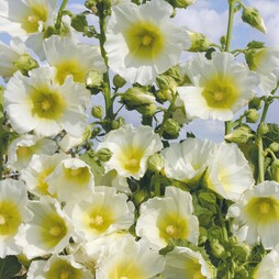 Hollyhock 'Halo White'