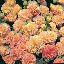 Hollyhock 'Peaches 'n' Dreams'®