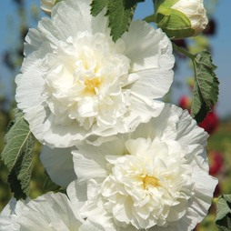 Hollyhock 'Chater's Double Icicle'
