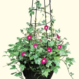 Morning Glory 'Cameo Elegance'