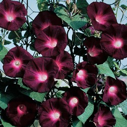 Morning Glory 'Kniolas Black Night'