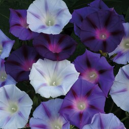 Morning Glory 'Hazelwood Blues'