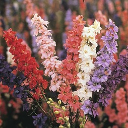 Larkspur 'Sublime Mixed'