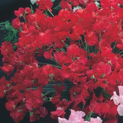 Sweet Pea 'Winston Churchill'