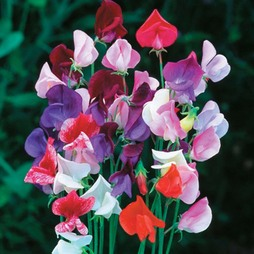 Sweet Pea 'Heirloom Mixed'