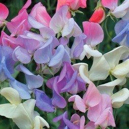 Sweet Pea 'Elegant Ladies'