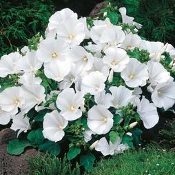 Lavatera trimestris 'Twins Cool White'